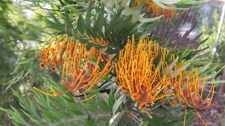Closeup of Grevillea Australian Silver Oak on calm sunny day in Andalusia, Spain