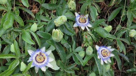 Closeup of three Passion Flowers in bloom in Andalusian countryside Archivio Fotografico