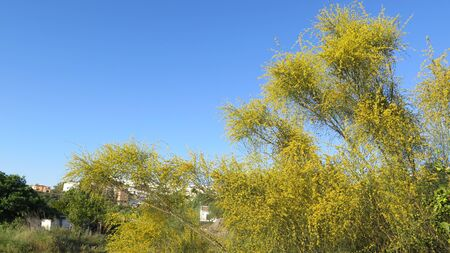 Large spindly Spanish Broom like shrub in countryside in Andalusia