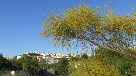 Large spindly Spanish Broom like shrub in countryside in Andalusia Archivio Fotografico - 148135932