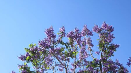 Jacaranda tree in full blossoms and flowers against blue sky backdrop in Andalusia Archivio Fotografico