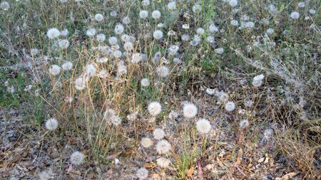 Spanish Dandelion clocks on rural countryside verge