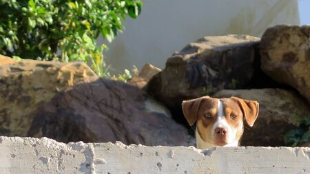 Small cute dog looking over garden wall in Andalusian village