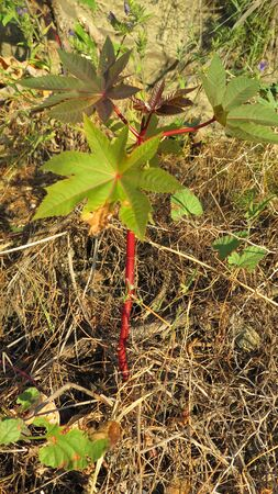 Large leaves and red stem on shrub in Alora Countryside Archivio Fotografico