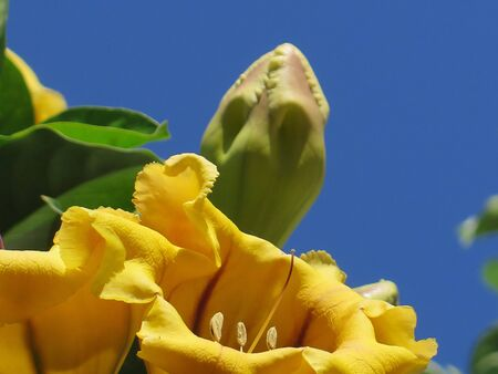 Cup of Gold Vine or Golden Chalice Vine (Solandra maxima) in andalusian village