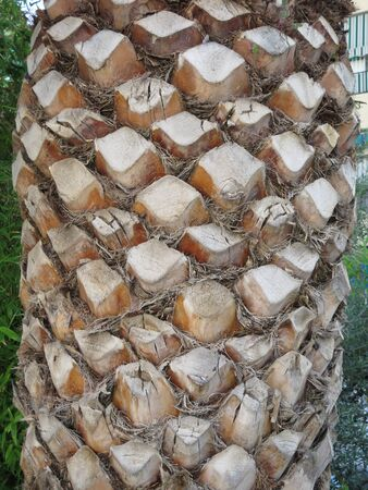 Closeup of trimmed branch end on old palm tree