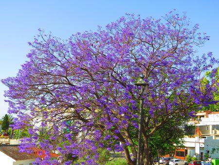 Flowering Jacaranda tree in Alora village, Andalusia