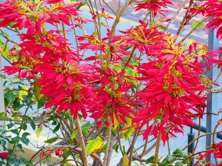 Poinsettia flower on shrub with red petals and yellow orange center in Andalusia garden Archivio Fotografico