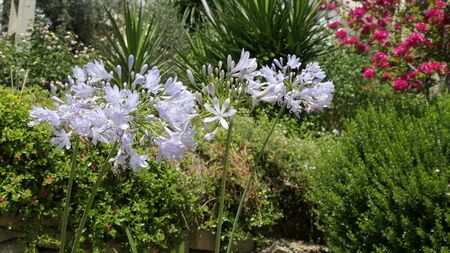 Agapanthus or Lily of the Nile flowers against shrub background Archivio Fotografico