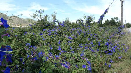 Blue Bindweed flowers growing on hedge in rural Andalusia with mountain background