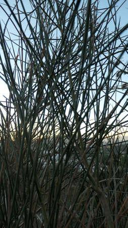 Closeup of Spanish broom shrub sticks in Andalusian winter sunshine Archivio Fotografico