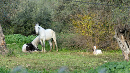 Piebald horse resting in neadow on sunny January morning next to white mare and reclined goat in rural southern Andalusia