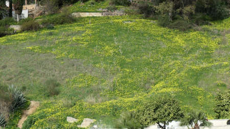 Yellow spring flowers in green Andalusian meadow in winter sunshine Archivio Fotografico