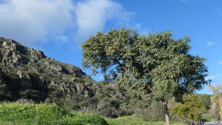 Tipuana tipu tree in meadow near Andalusian village