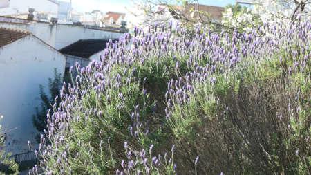Flowering lavender bush on hillside outside Andalusian village Stockfoto