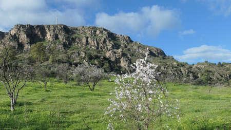 Flowering almond tree in meadow near Andalusian village