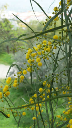 Closeup of bright yellow mimosa flowers in Andalusian February morning sunshine Archivio Fotografico