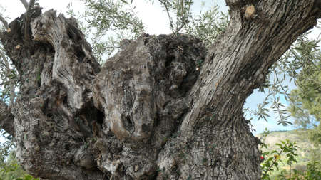 Old gnarled olive tree in Andalusian olive grove, Spain Archivio Fotografico
