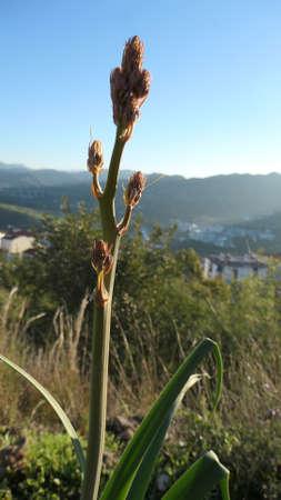 Asphodelus tenuifolius or Wild Onion plant in countryside on sunny day near Alora, Andalusia