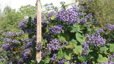 Blue flowers on shrub with large leaves next to telephone pole in Andalusian countryside