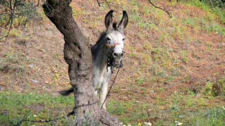 Grey tethered donkey enjoying winter sunshine in meadow one Andalusian morning. Lone donkey tethered behind olive tree in Andalusian valley Archivio Fotografico