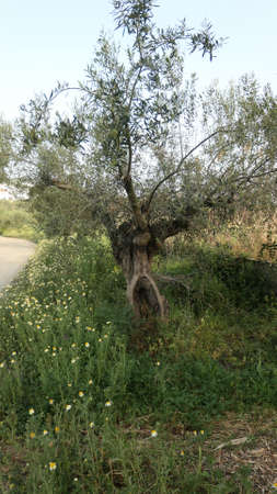 Closeup of rough trimmed olive tree. Old gnarled olive tree in Andalusian olive grove, Spain Archivio Fotografico