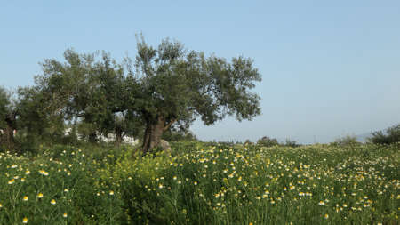 Old olive tree surrounded by wild oxeeye daisies in Andalusian countryside