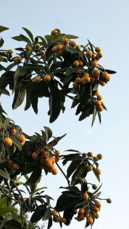 Nearly ripe loquat or Nispero fruit on tree in Andalusian village