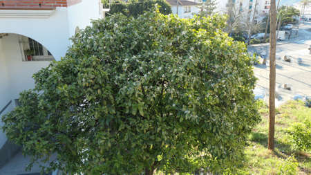 Large display of orange blossoms with green leaf on the tree in Andalusian winter sunshine Archivio Fotografico