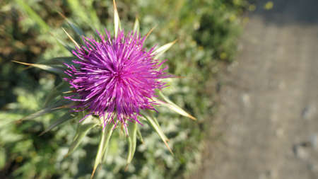 Large purple thistle flowering in lush landscape in Andalusia,Spain