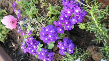 Pink and blue bedding plants in full flower with lone sprig of rosemary
