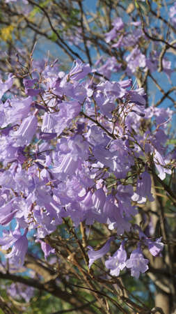 Jacaranda tree in full blossoms and flowers in Andalusian countryside