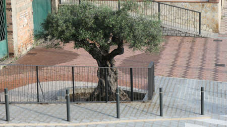 Old olive tree behind iron fence in Andalusian village Stockfoto