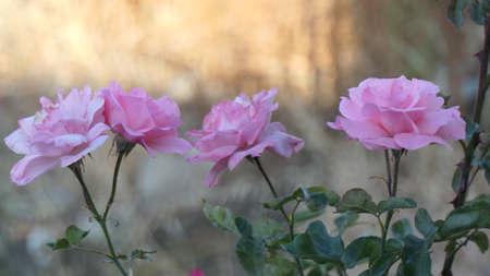 pastel pink roser in bloom against difused background