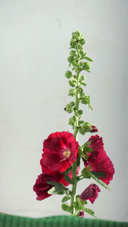 Tall deep red hollyhock flower in bloom in early spring Stockfoto