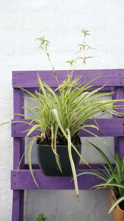 Spider plant hanging in pot on purple painted pallet
