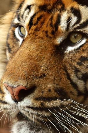 tigresa: orgullo de tigre  Foto de archivo