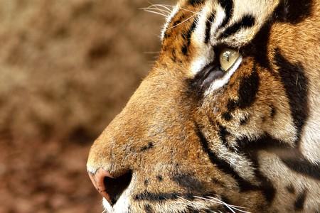 tigre blanc: regarder les tigres  Banque d'images