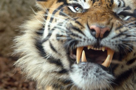 yellow teeth:   tiger attack
