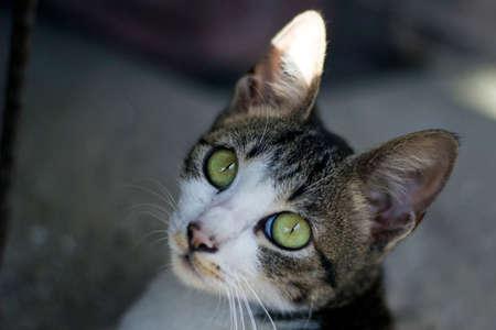 gray cat: Dark Gray White Cat