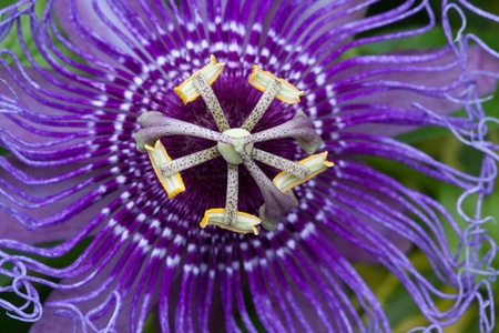 Purple passion flower, Passiflora incarnata is a herbaceous vine native to the US