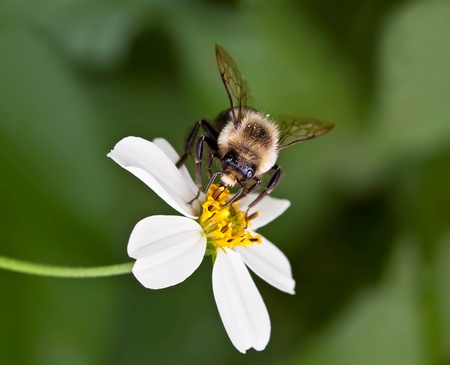 Honeybee extracting nectar from a flower