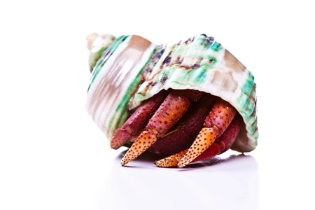 A hermit crab hiding in its shell 版權商用圖片