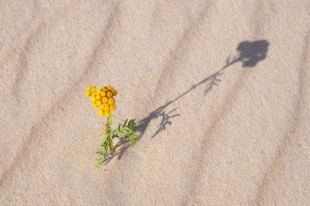desert sand: Wild flower in desert sand casting a shadow Stock Photo