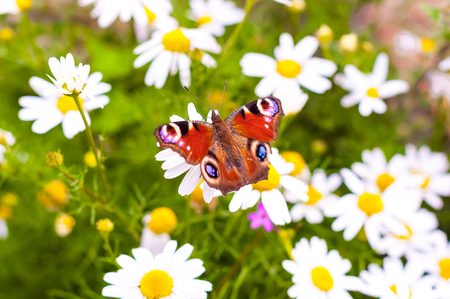 camomile flower: Red butterfly on white camomile flower