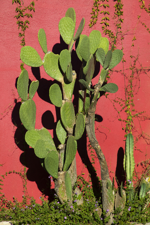 Some prickly pear cactus catching the early morning rays of the sun along a wall in downtown Tucson, Arizona (Photographer John Robert Miller)