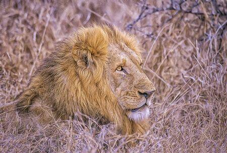 Portrait of mature African lion,digital oil painting Imagens