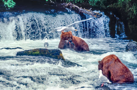 Grizzly bears feeding below waterfall at Brooks Falls Alaska
