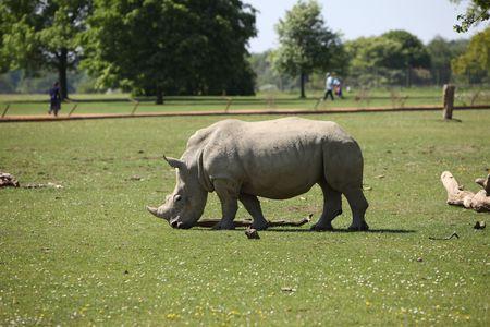 White rhino Imagens