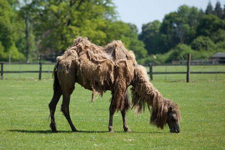 Camel Фото со стока